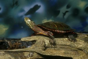Eastern Painted Turtle (Chrysemys picta), NE USA, PA, Pennsylvania