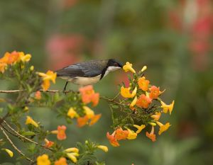 Eastern Spinebill (Acanthorhynchus tenuirostris) feeding on nectar from orange flowers