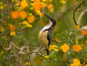 Eastern Spinebill (Acanthorhynchus tenuirostris), attracted to feed on nectar