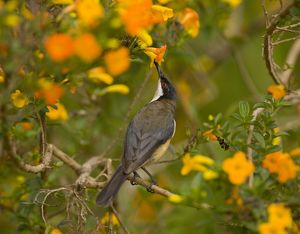 Eastern Spinebill (Acanthorhynchus tenuirostris), sipping nectar from orange flowers
