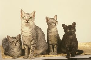 Egyptian Mau Cat with Kittens