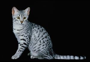 Egyptian Mau Domestic Cat, Adult Sitting Against Black Background