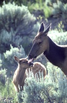 Elk (Cervus elaphus), cow grooming young spotted calf, Yellowstone National Park, Wyoming