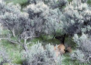 Elk (Cervus elaphus), cow with newborn spotted calf in sagebrush Yellowstone National
