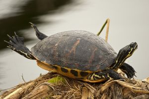 Florida Red-bellied Turtle (Pseudemys nelsoni) basking in the Everglades