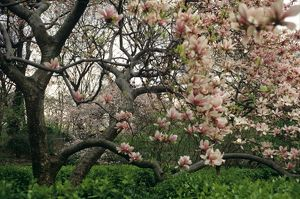 Flowering Magnolia Tree (Magnoia grandiflora), Central Park, NYC, NY