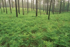 Forest Floor with Ferns, Longleaf Pines, Kisatchie NF near Fort Polk, LA, Louisiana