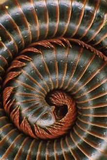Forest Log Millipede (Marceus americanus) IC