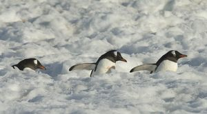 Genoo penguins walking on trails at Neko Harbor-submerged Neko Harbor Antarctic Peninsula