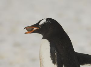 Gentoo penguin carrying rock in bill for spouses's nest-Cuverville Island Cuverville
