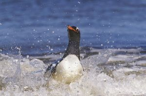 Gentoo Penguin popping out of Surf (Pygoscelis papua), Falkland Is