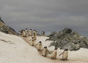 Gentoo penguins walking along trail at Ronge Island Ronge Island Antarctic Peninsula