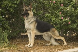 German shepherd dog standing