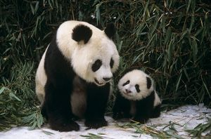 Giant Panda, Mother with Cub (Ailuropoda melancoleuca) Sichuan, China