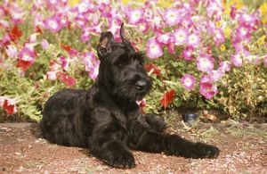 Giant Schnauzer Puppy lying by flowers Colorado Springs Colorado