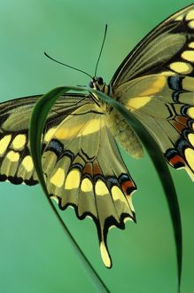 Giant Swallowtail, close up #3 (Heraclides cresphontes), Ont., Canada