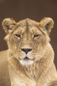 Gir/Asian Lioness (Panthera leo persica), headshot