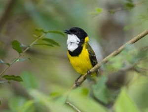 Golden Whistler (Pachycephala pectoralis), male singing, Lake Eacham National Park
