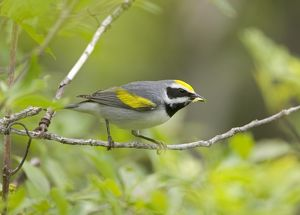 Golden-winged Warbler (Vermivora chrysoptera), male in breeding plumage feeding