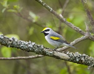Golden-winged Warbler (Vermivora chrysoptera), male in breeding plumage