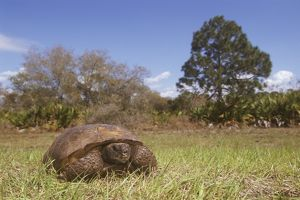 Gopher Tortoise (Gopherus polyphemus) threatened sp. FL USA