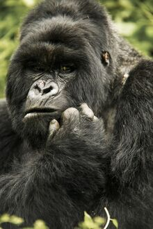 animals/mc donald wildlife photograhy/gorilla mountain gorilla gorilla beringei susa