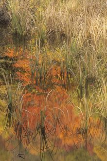 Grasses & Autumn Reflections in Adirondacks, NY, New York