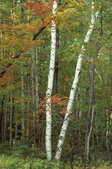 Gray Birch tree (Betula populifolia) Pennsylvania, USA
