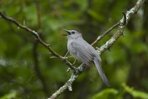 Gray Catbird (Dumetella carolinensis) singing, New York, USA