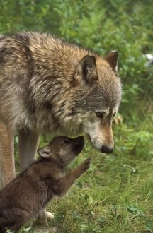 Gray Wolf w/young (Canis lupus) IC Minnesota