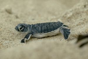 Green Sea Turtle Hatchling (Chelonia mydas) crawling across sand in Madagascar