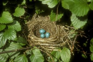 Grey Catbird Nest w/ 3 Eggs (Dumetella carolinensis) in Arrowwood Viburnum, IL