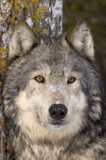 Grey wolf (Alpha male) (Canis lupus) Minnesota northwoods Controlled situation