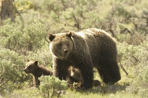 Grizzly Bear (Ursus arctos) Mother with cub in sagebrush Yellowstone N.P. Wyoming
