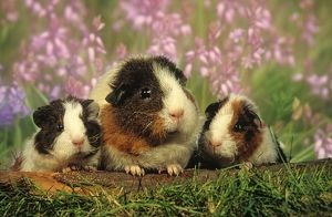 Guinea Pig with young, Rex, tricolored, digitally enhanced