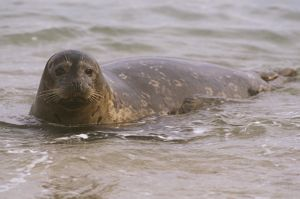 Harbor Seal (Phoca vitulina California