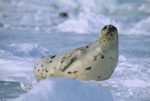 Harp Seal female, (Phoca groenlandicus) Magdelene Islands, Canada