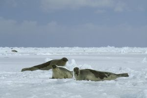 Harp Seals, Males (Phoca groenlandica) Waiting to Mate, Canada