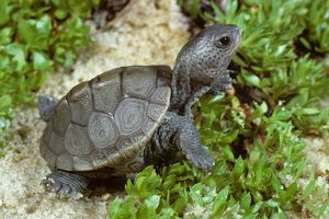 Hatchling Northern Diamondback Terrapin
