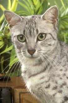 Head of Egyptian Mau Cat