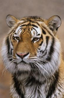 Head Shot of Siberian Tiger