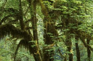 Hoh Rainforest Hall of Mosses Trail Olympic NP, Washington