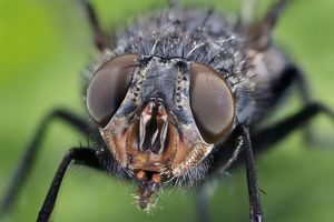 House Fly detail