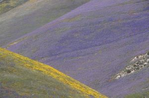 Impressionistic wildflower colors; California Poppy, Lupine & Goldfield Gorman Post Road