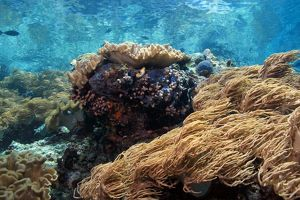 Indonesian coral reef in the Lembeh Straits of North Sulawesi, Indonesia