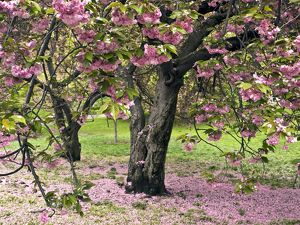 Japanese Cherry Trees in bloom in Central Park - New York City