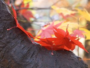 Japanese Maple Leaves, Central Park, NY