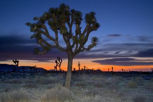 Joshua tree (Yucca brevifolia) at sunset, Joshua Tree National Park, San Bernardino County