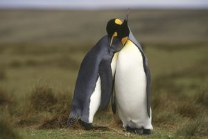 King Penguin (Aptenodytes patagonica) courting. Falkland Islands