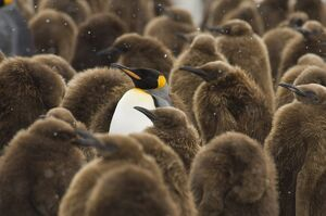 King Penguin (Aptenodytes patagonicus) adult in the middle of lots of chicks